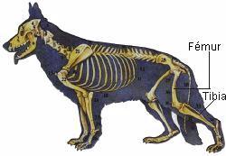 Femur y Tibia perro