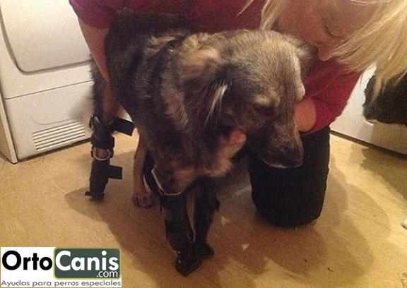 Perro con 3 protesis