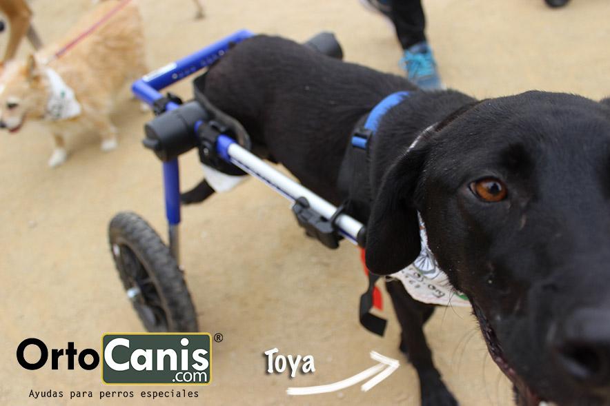 Toya en su silla de ruedas de Ortocanis.com