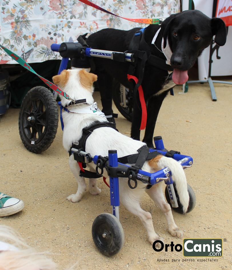 Toya y peque dos perros en sillas de ruedas de ortocanis for Carritos para perros