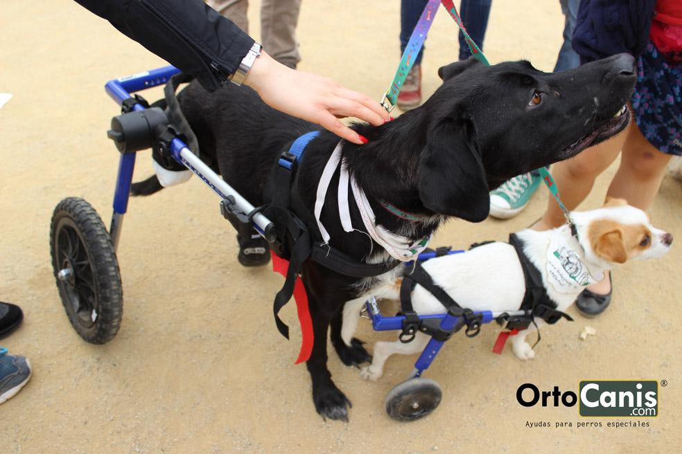 Toya y peque, perros discapcitados en su silla de ruedas