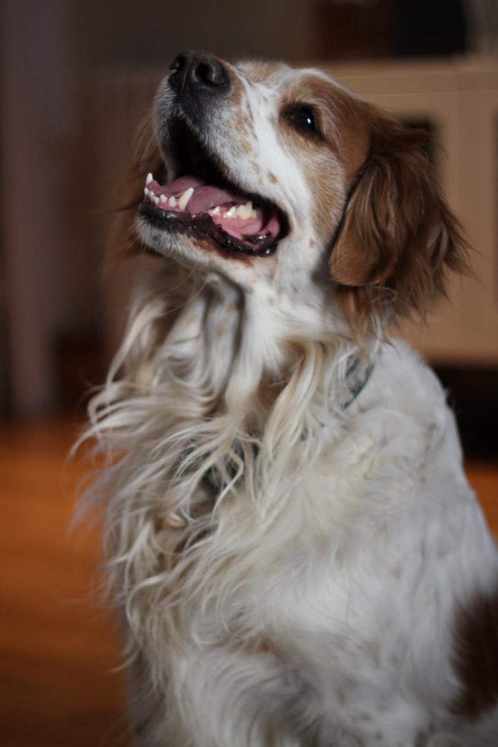 Soporte de carpo para perro
