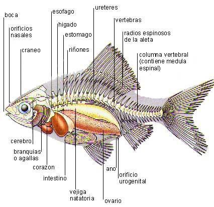 La vejiga natatoria se encuentra bajo la columna vertebral, coloreada de amarillo