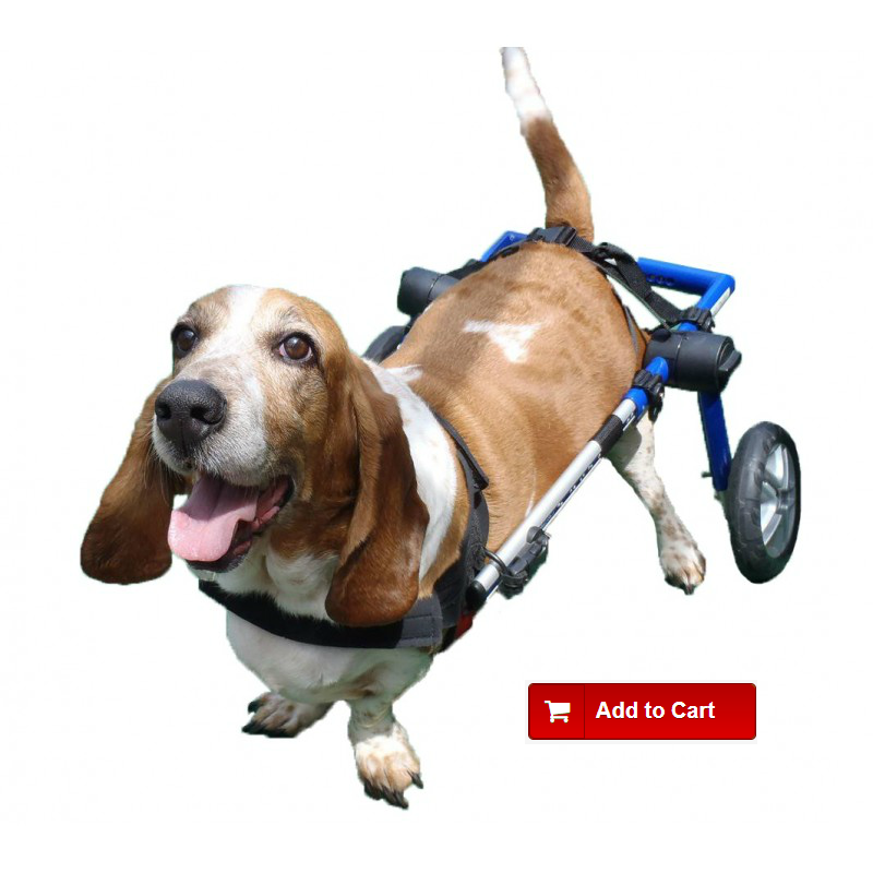 Dog with herniated disc in a wheelchair