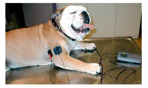 Resultado de imagen de TENS bulldog