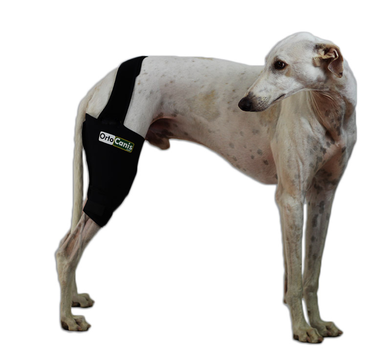Dog with Ortcanis knee brace