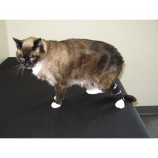 Attelle orthopédique pour chat patte arrière
