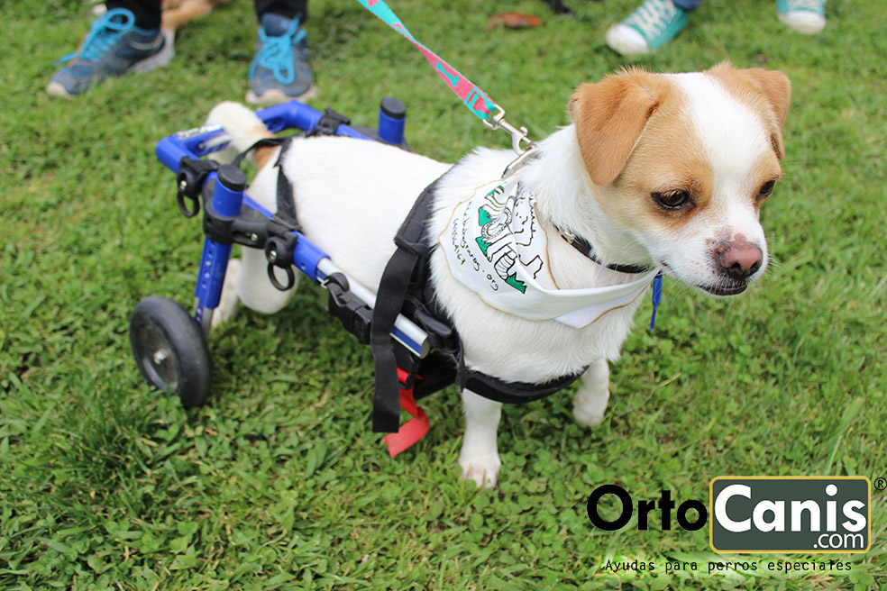 Toya y peque dos perros en sillas de ruedas de ortocanis for Sillas para discapacitados