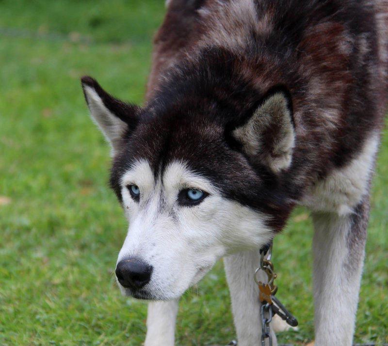 Principales síntomas de la hernia de disco en perros