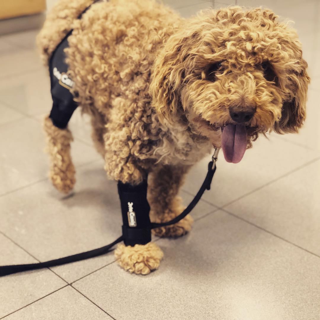 Cómo detectar y tratar la bursitis de codo en los perros