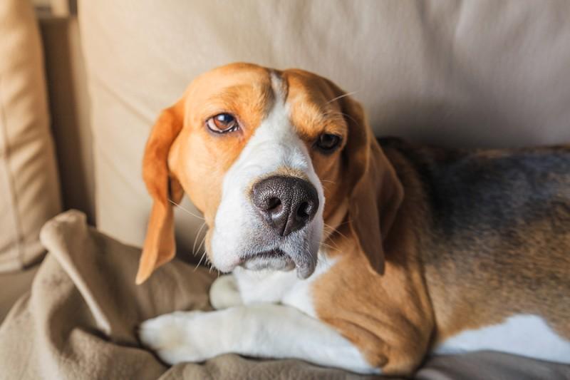 Cómo identificar el dolor en los perros