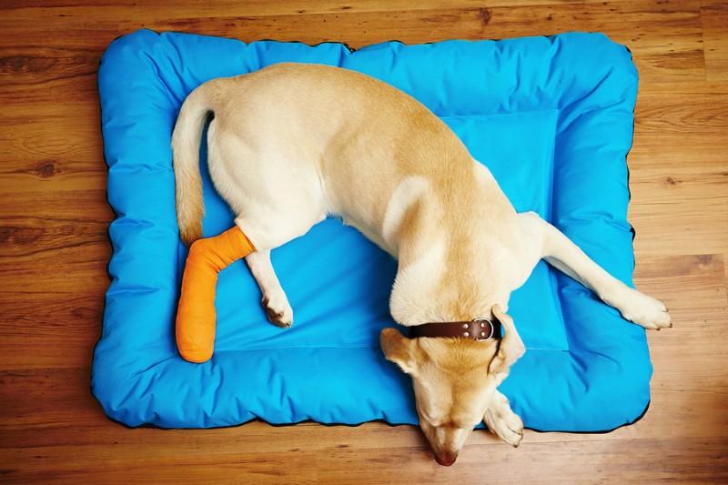 Cómo actuar ante una fractura de perro