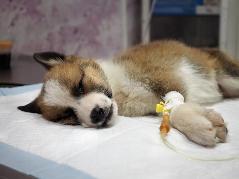 El moquillo en los perros y su tratamiento