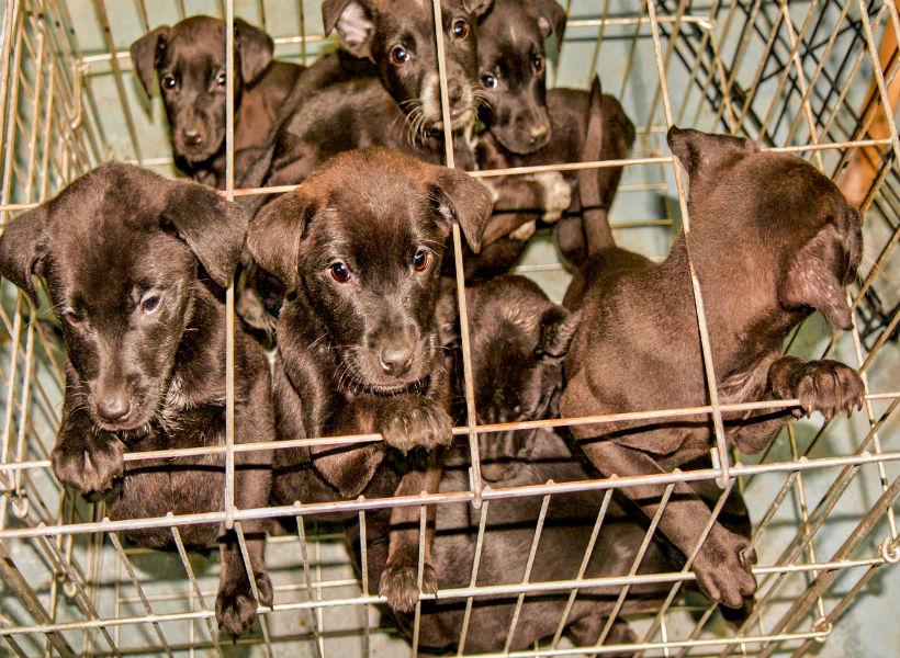 Fábrica de cachorros