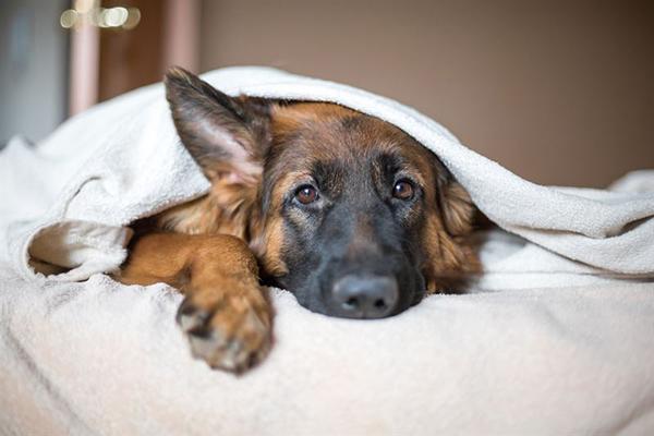 antiinflamatorio perros