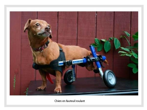 Chien en fauteuil roulant