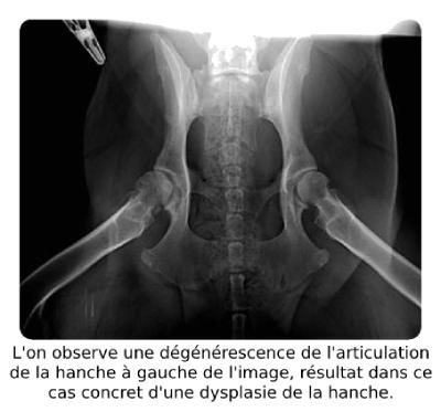 Arthrose chez un chien en raison d'une dysplasie de la hanche