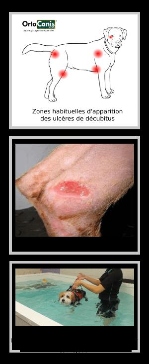 Chien paralysé: ulcères de décubitus et hydrothérapie