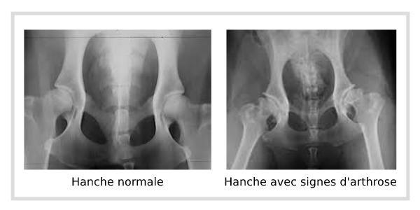 Hanche de chien présentant de l'arthrose