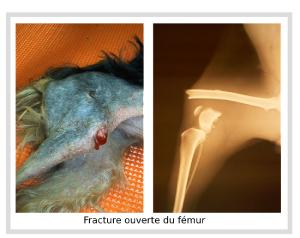 Fracture ouverte du fémur d'un chien