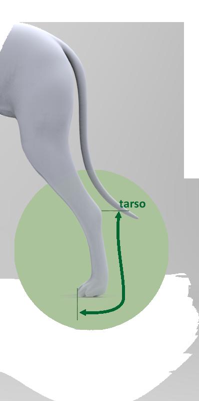 Férula trasera corta miembro posterior